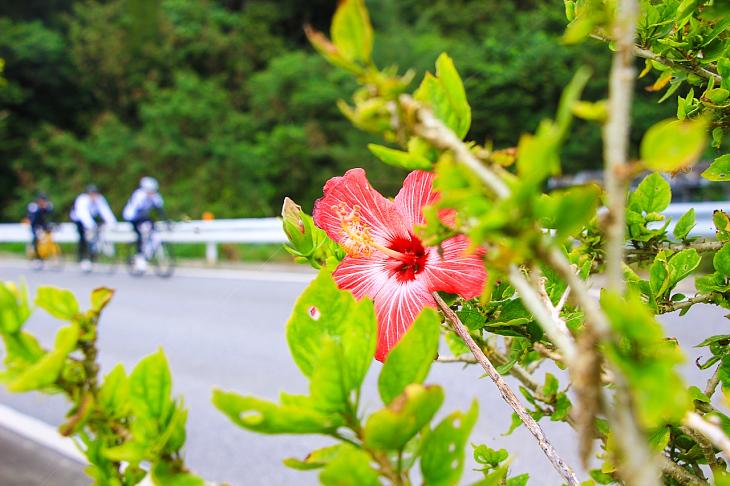 沿道ではハイビスカスも花を咲かせる