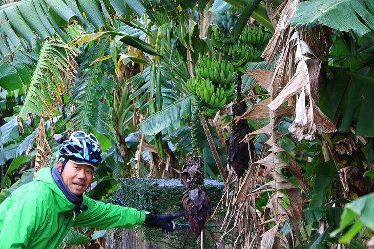 集落内には小ぶりな「島バナナ」も自生していた