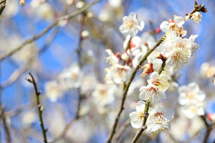 桜花が開いていました。何て種類のサクラだろう?