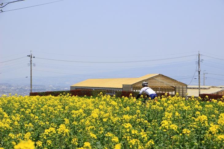 ツール・ド・フランスのひまわり畑のような菜の花畑
