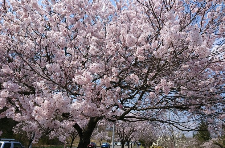 桜が満開!きれい~!すぐ立ち止まれるのも自転車の魅力