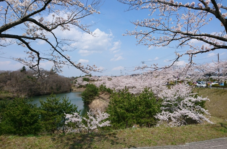 桜を見ながらのライドは最高です