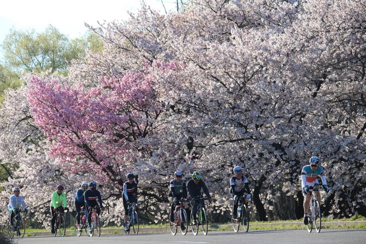 スタートしてすぐ、桜、桜、桜だ
