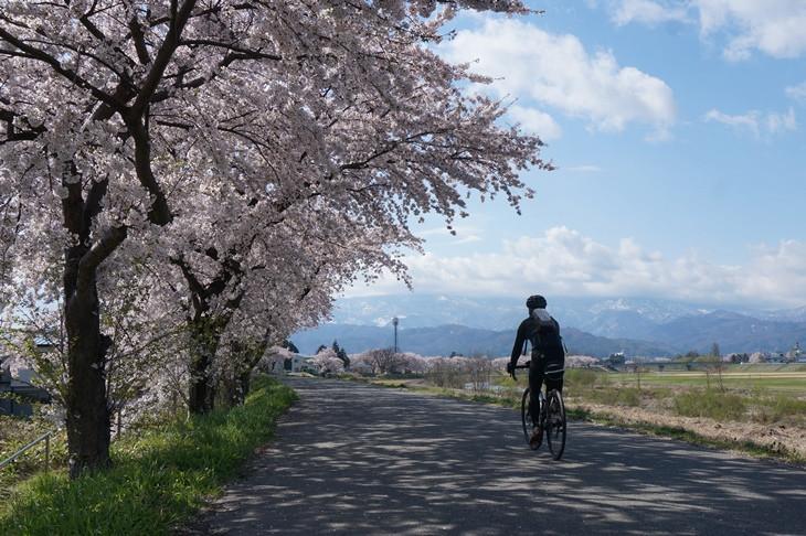 2日目も快晴!米沢は春真っ盛りで、最上川沿いの桜並木も満開でした!